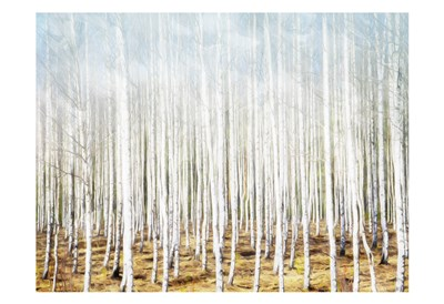 Birch In The Woods art print by Milli Villa for $22.50 CAD