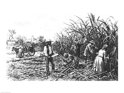 Cutting Sugar Cane in the South art print by Unknown for $32.50 CAD