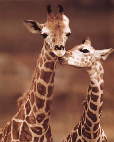 Giraffe First Love art print by Unknown for $17.50 CAD