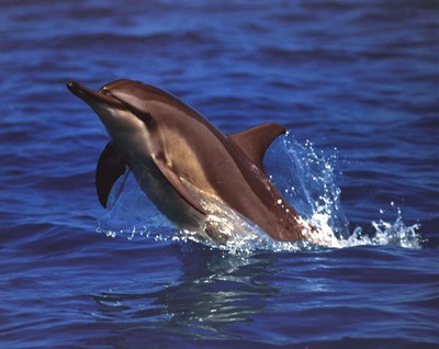 Dolphin - photo art print by Unknown for $17.50 CAD
