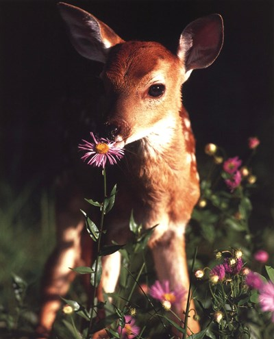 Fawn art print by Unknown for $17.50 CAD