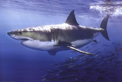 Great White Shark Underwater art print by Unknown for $26.25 CAD