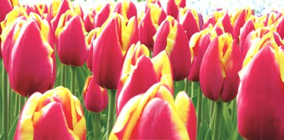 Tulips art print by Jan Lens for $41.25 CAD