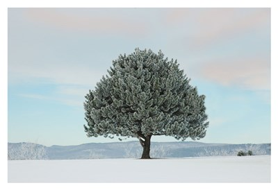 Frosted Pine art print by Orah Moore for $20.00 CAD