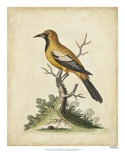 Edwards Gold Finch art print by George Edwards for $50.00 CAD