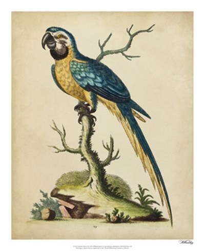 Edwards Parrots II art print by George Edwards for $50.00 CAD