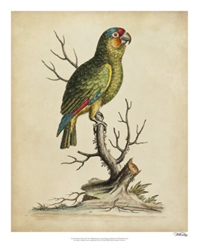 Edwards Parrots III art print by George Edwards for $50.00 CAD