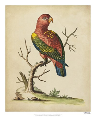 Edwards Parrots IV art print by George Edwards for $50.00 CAD
