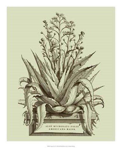Vintage Aloe IV art print by Abraham Munting for $60.00 CAD
