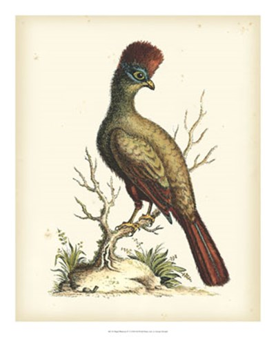 Regal Pheasants IV art print by George Edwards for $60.00 CAD