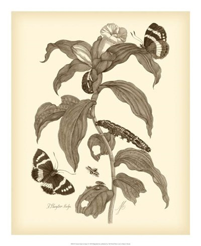 Nature Study in Sepia I art print by Maria Sibylla Merian for $50.00 CAD
