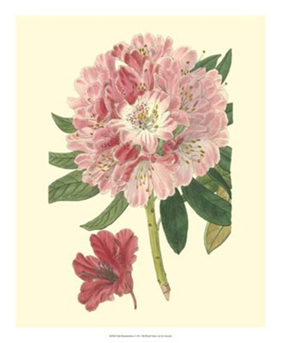 Pink Rhododendron art print by George Edwards for $50.00 CAD