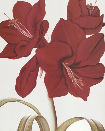Amaryllis I art print by Sophie Coryndon for $25.00 CAD