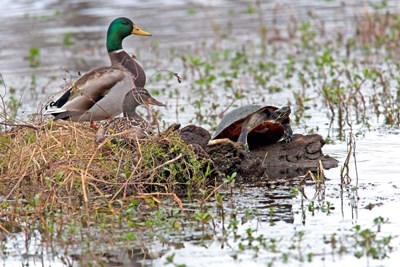 Mallards Freaking Squater art print by Dick Petrie for $42.50 CAD