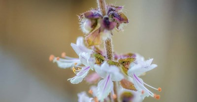 Macro Basil Flowers art print by Pixie Pics for $37.50 CAD