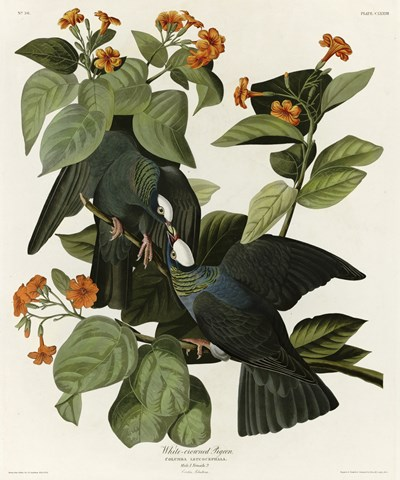 White Crowned Pigeon art print by John James Audubon for $88.75 CAD