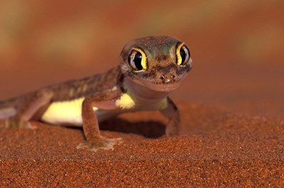 Web-footed Gecko, Namib National Park, Namibia art print by Art Wolfe / Danita Delimont for $93.75 CAD