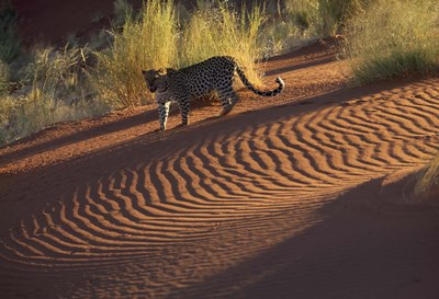 Leopard on sand dunes, Namib-Naukluft Park, Namibia art print by Art Wolfe / Danita Delimont for $92.50 CAD