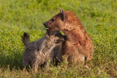 Spotted hyena, Ngorongoro Conservation Area, Tanzania. art print by Art Wolfe / Danita Delimont for $92.50 CAD