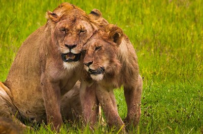 African lions, Ngorongoro Conservation Area, Tanzania art print by Art Wolfe / Danita Delimont for $92.50 CAD