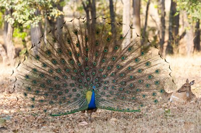India, Madhya Pradesh, Kanha National Park A Male Indian Peafowl Displays His Brilliant Feathers art print by Ellen Goff / Danita Delimont for $53.75 CAD