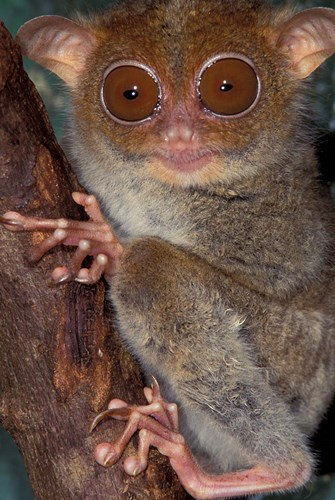 Asia, Philippines, Tarsier art print by Art Wolfe / Danita Delimont for $53.75 CAD