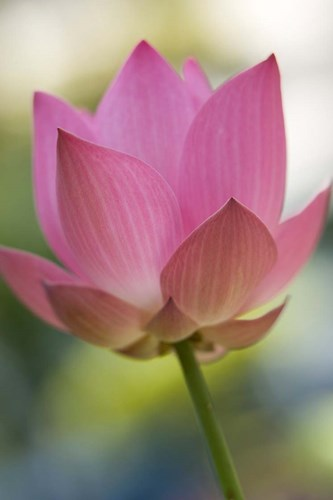 Bloom of Lotus Flower, Bangkok, Thailand art print by Russell Young / Danita Delimont for $80.00 CAD