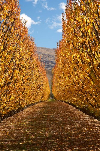 Autumn, Orchard, Roxburgh, South Island, New Zealand art print by David Wall / Danita Delimont for $90.00 CAD
