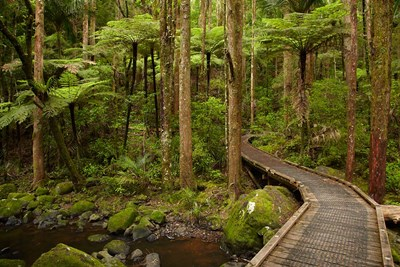 Footbridge over Waikoromiko Stream and forest, North Island, New Zealand art print by David Wall / Danita Delimont for $102.50 CAD