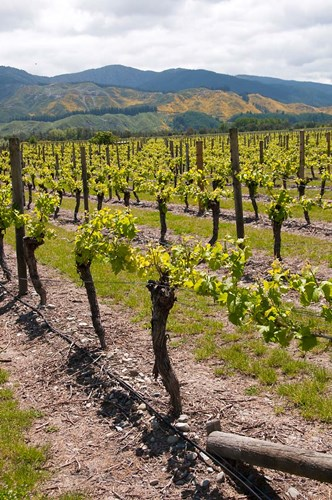 New Zealand, Wairau Rivery Winery vineyard art print by Lee Foster / Danita Delimont for $51.25 CAD