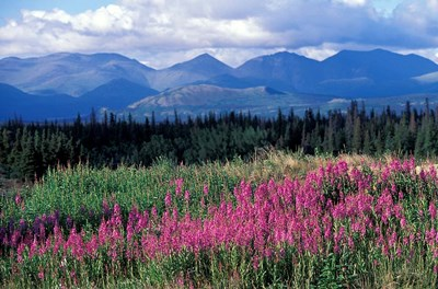 Fireweed Blooms near Kluane National Park, Yukon, Canada art print by Paul Souders / Danita Delimont for $76.25 CAD