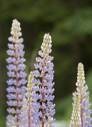 Lupine, Vancouver Island, Canada art print by Kevin Oke / DanitaDelimont for $40.00 CAD