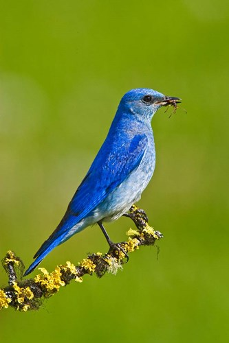 British Columbia, Mountain Bluebird with caterpillars art print by Larry Ditto / Danita Delimont for $75.00 CAD