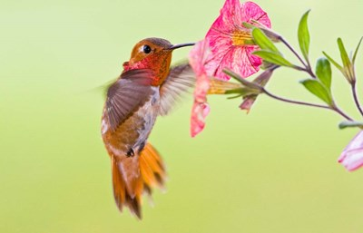 Rufous Hummingbird feeding in a flower garden, British Columbia, Canada art print by Larry Ditto / Danita Delimont for $71.25 CAD