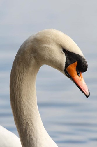 British Columbia, Vancouver, Mute Swan bird art print by Rick A Brown / Danita Delimont for $46.25 CAD