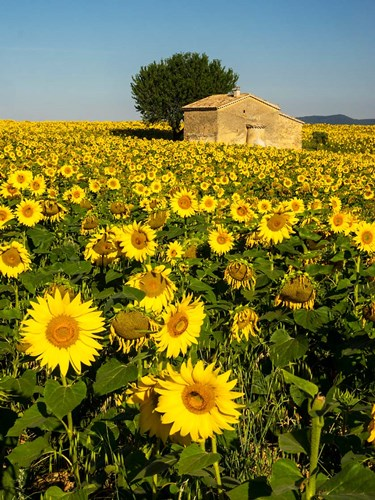 France, Provence, Old Farm House In Field Of Sunflowers art print by Terry Eggers / Danita Delimont for $38.75 CAD