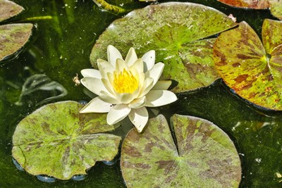 Lily Pad art print by Hollice Looney / Danita Delimont for $42.50 CAD