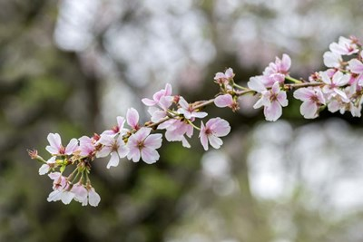 Branch Of Cherry Blossoms art print by Lisa S. Engelbrecht / Danita Delimont for $42.50 CAD