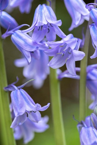 English Wood Hyacinth 2 art print by Lisa S. Engelbrecht / Danita Delimont for $42.50 CAD
