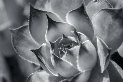 Hens And Chicks, Succulents 1 art print by Lisa S. Engelbrecht / Danita Delimont for $42.50 CAD