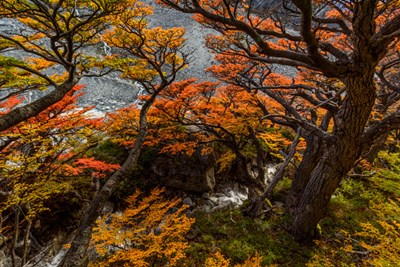 Argentina, Los Glaciares National Park Lenga Beech Trees In Fall art print by Yuri Choufour / DanitaDelimont for $60.00 CAD
