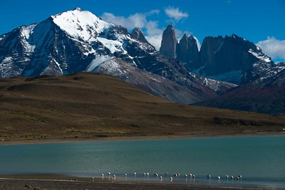 Chilean Flamingo On Blue Lake, Torres Del Paine NP, Patagonia art print by Pete Oxford / Danita Delimont for $42.50 CAD