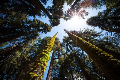 Upward View Of Trees In The Redwood National Park, California art print by Janet Muir / DanitaDelimont for $42.50 CAD