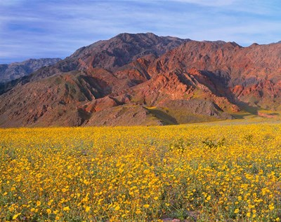 Black Mountains And Desert Sunflowers, Death Valley NP, California art print by John Barger / DanitaDelimont for $86.25 CAD