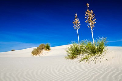 Soaptree Yucca And Dunes, White Sands National Monument, New Mexico art print by Russ Bishop / DanitaDelimont for $68.75 CAD