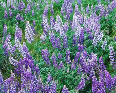 Lupine Meadow and Oregon white oaks, Columbia River Gorge National Scenic Area, Oregon art print by Charles Gurche / Danita Delimont for $47.50 CAD