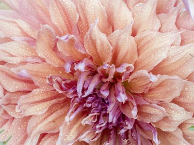 Orange Dahlia art print by Julie Eggers / Danita Delimont for $45.00 CAD