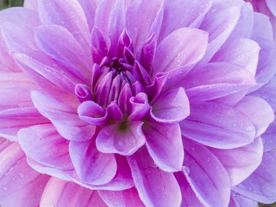 Pretty Pink Dahlia art print by Julie Eggers / Danita Delimont for $45.00 CAD