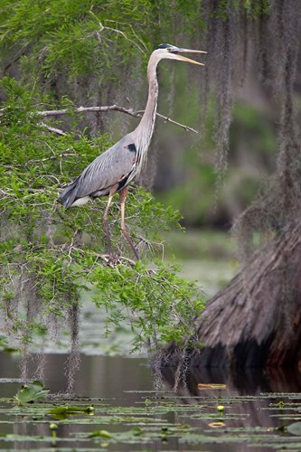 Great Blue Heron bird, Caddo Lake, Texas art print by Larry Ditto / Danita Delimont for $28.75 CAD