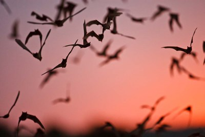Mexican Free-tailed Bats emerging from Frio Bat Cave, Concan, Texas, USA art print by Larry Ditto / Danita Delimont for $102.50 CAD